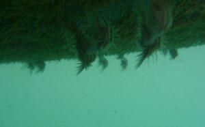 entenmuscheln-grosse-webansicht